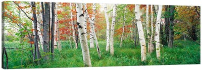 Birch trees in a forestAcadia National Park, Hancock County, Maine, USA Canvas Art Print