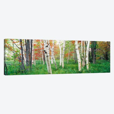 Birch trees in a forestAcadia National Park, Hancock County, Maine, USA Canvas Print #PIM291} by Panoramic Images Art Print