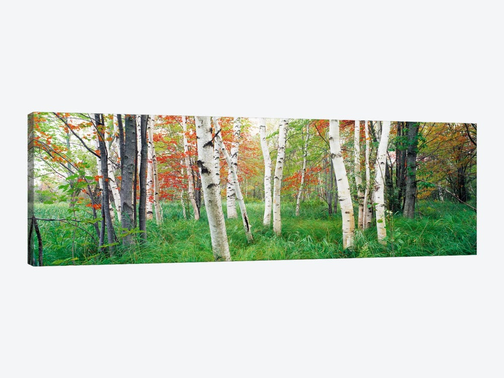 Birch trees in a forestAcadia National Park, Hancock County, Maine, USA by Panoramic Images 1-piece Canvas Art Print