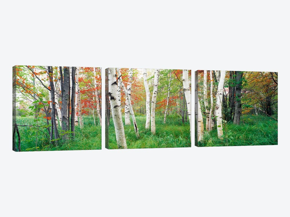 Birch trees in a forestAcadia National Park, Hancock County, Maine, USA by Panoramic Images 3-piece Canvas Print