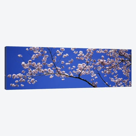 Cherry Blossoms Washington DC USA Canvas Print #PIM2951} by Panoramic Images Canvas Art Print