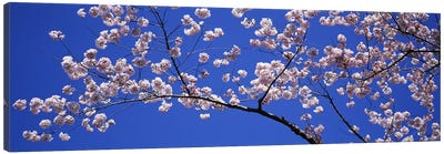 Cherry Blossoms Washington DC USA Canvas Art Print