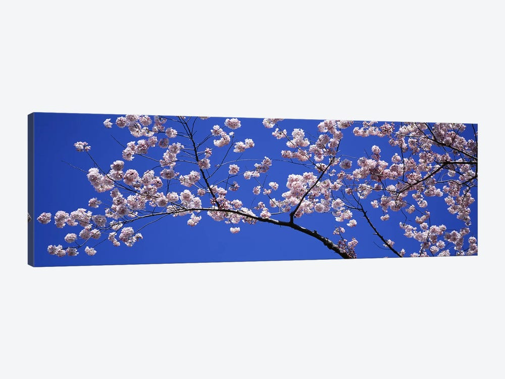 Cherry Blossoms Washington DC USA by Panoramic Images 1-piece Canvas Art