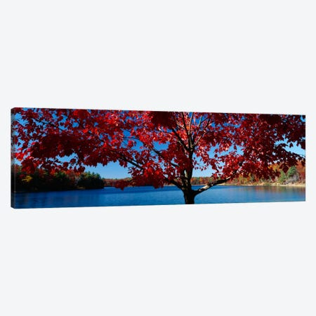 Close-up of a tree, Walden Pond, Concord, Massachusetts, USA Canvas Print #PIM296} by Panoramic Images Canvas Art