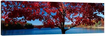 Close-up of a tree, Walden Pond, Concord, Massachusetts, USA Canvas Print #PIM296