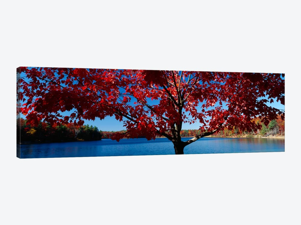 Close-up of a tree, Walden Pond, Concord, Massachusetts, USA by Panoramic Images 1-piece Canvas Art