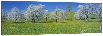 Blossoming Cherry Trees, Zug, Switzerland Canvas Print #PIM3015