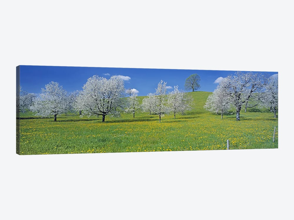 Blossoming Cherry Trees, Zug, Switzerland by Panoramic Images 1-piece Canvas Artwork