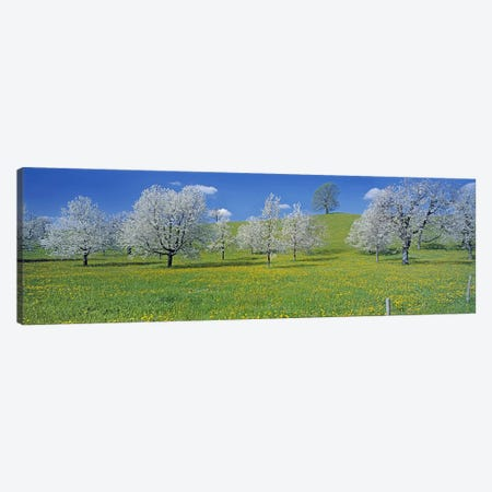 Blossoming Cherry Trees, Zug, Switzerland Canvas Print #PIM3015} by Panoramic Images Canvas Art