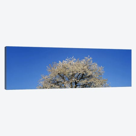 Cherry Blossoms, Switzerland Canvas Print #PIM3016} by Panoramic Images Canvas Wall Art