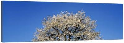 Cherry Blossoms, Switzerland Canvas Print #PIM3016