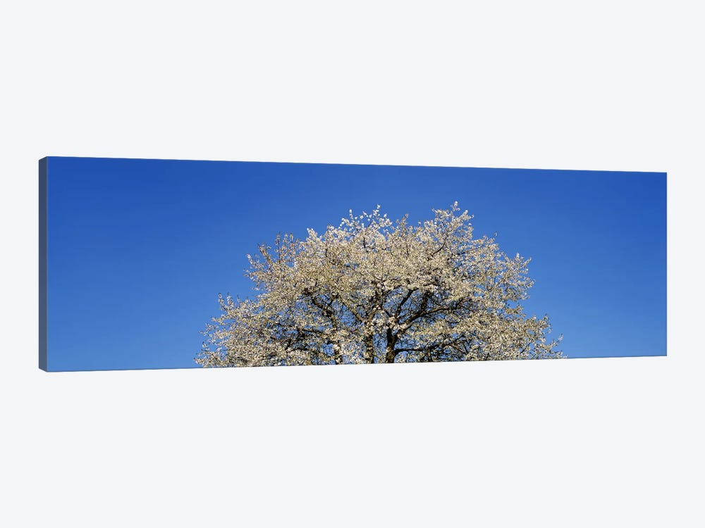 Cherry Blossoms, Switzerland by Panoramic Images 1-piece Canvas Art Print