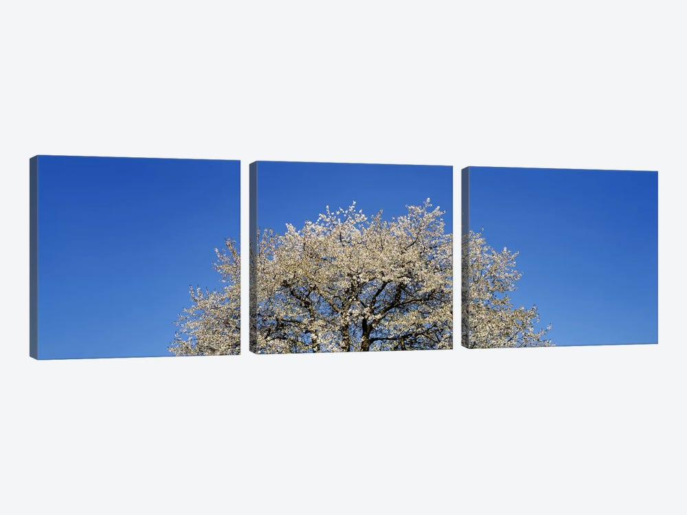 Cherry Blossoms, Switzerland 3-piece Canvas Print