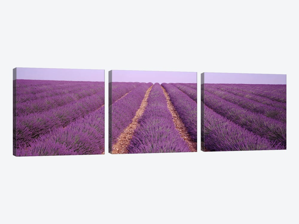 France, View of rows of blossoms in a field by Panoramic Images 3-piece Canvas Art Print