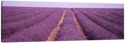France, View of rows of blossoms in a field Canvas Art Print