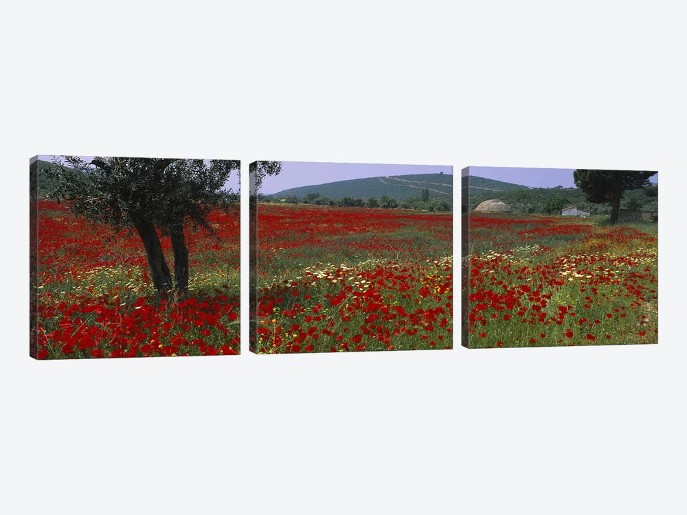 Field Of Red Poppies, Turkey by Panoramic Images 3-piece Canvas Print