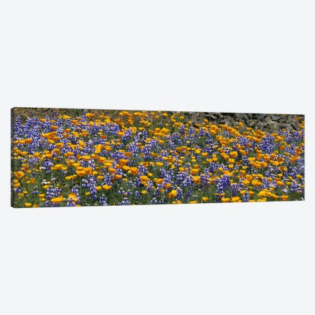 California Golden Poppies (Eschscholzia californica) and Bush Lupines (Lupinus albifrons), Table Mountain, California, USA Canvas Print #PIM3169} by Panoramic Images Art Print