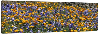 California Golden Poppies (Eschscholzia californica) and Bush Lupines (Lupinus albifrons), Table Mountain, California, USA Canvas Art Print
