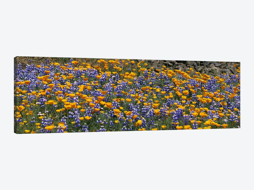 California Golden Poppies (Eschscholzia californica) and Bush Lupines (Lupinus albifrons), Table Mountain, California, USA by Panoramic Images 1-piece Canvas Art