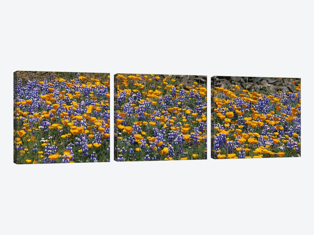 California Golden Poppies (Eschscholzia californica) and Bush Lupines (Lupinus albifrons), Table Mountain, California, USA 3-piece Canvas Wall Art