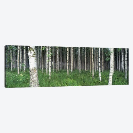 Birch Forest, Punkaharju, Finland Canvas Print #PIM3181} by Panoramic Images Canvas Print