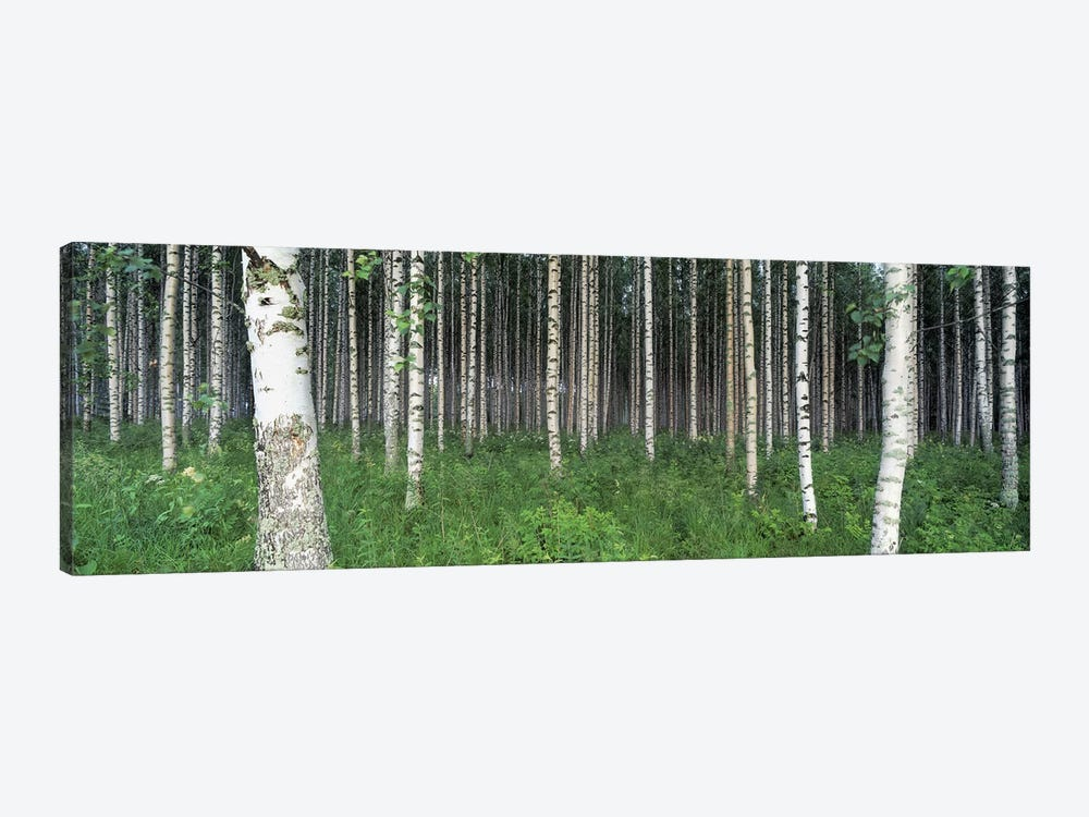 Birch Forest, Punkaharju, Finland by Panoramic Images 1-piece Canvas Wall Art