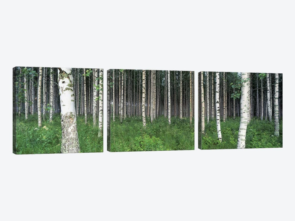 Birch Forest, Punkaharju, Finland by Panoramic Images 3-piece Canvas Wall Art