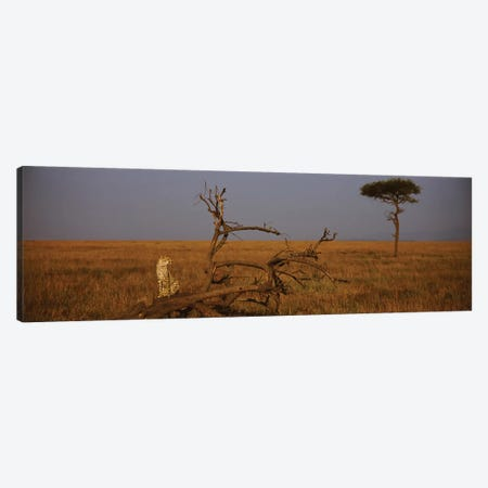 A Lone African Cheetah, Maasai Mara National Reserve, Rift Valley, Kenya Canvas Print #PIM3187} by Panoramic Images Canvas Art