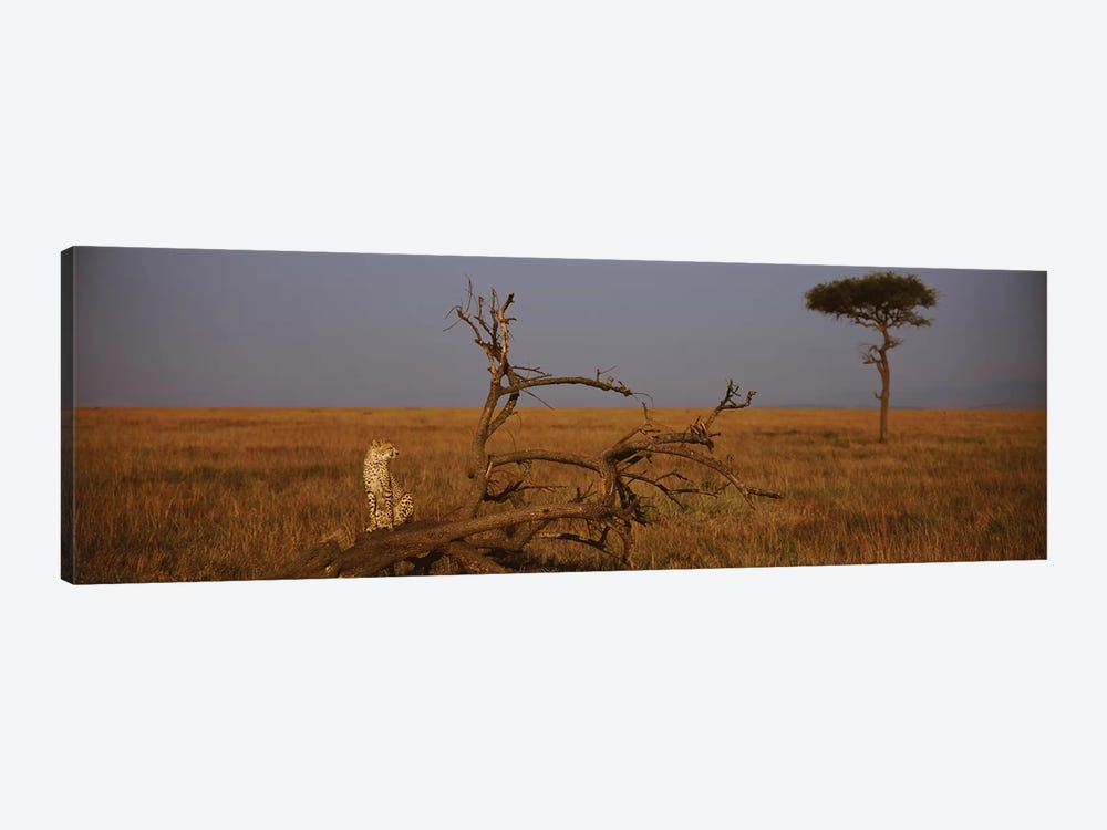 A Lone African Cheetah, Maasai Mara National Reserve, Rift Valley, Kenya 1-piece Canvas Art