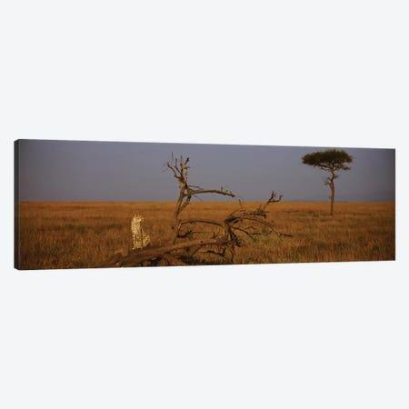 A Lone African Cheetah, Maasai Mara National Reserve, Rift Valley, Kenya Canvas Print #PIM3187} by Panoramic Images Canvas Art