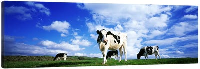 Cows In Field, Lake District, England, United Kingdom Canvas Art Print