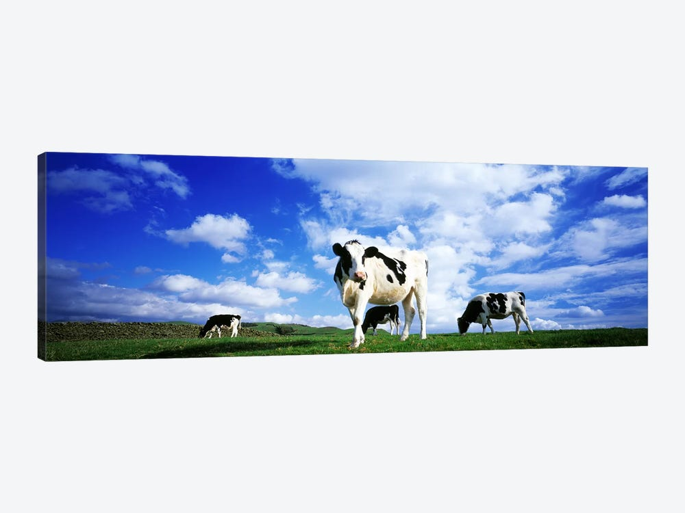 Cows In Field, Lake District, England, United Kingdom by Panoramic Images 1-piece Canvas Art