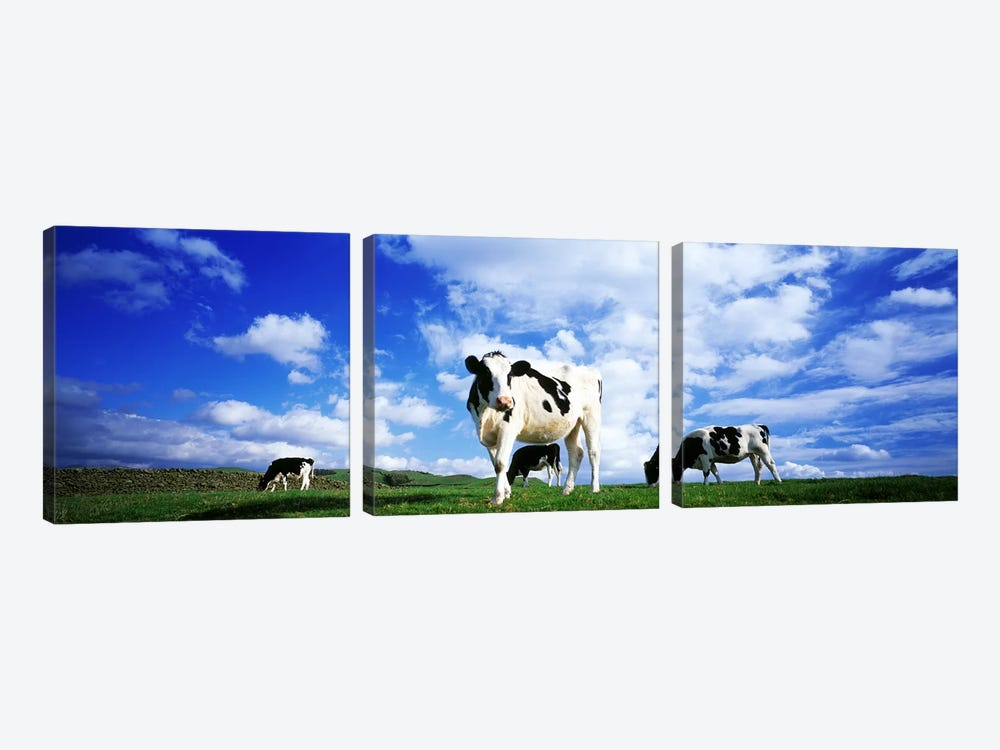 Cows In Field, Lake District, England, United Kingdom by Panoramic Images 3-piece Canvas Art