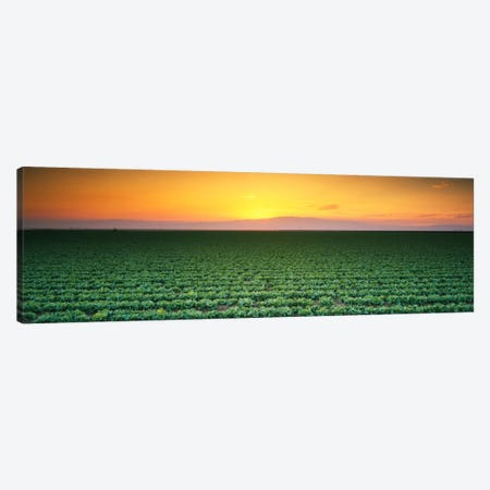 High angle view of a lettuce field at sunset, Fresno, San Joaquin Valley, California, USA Canvas Print #PIM325} by Panoramic Images Canvas Wall Art