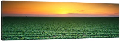 High angle view of a lettuce field at sunset, Fresno, San Joaquin Valley, California, USA Canvas Print #PIM325