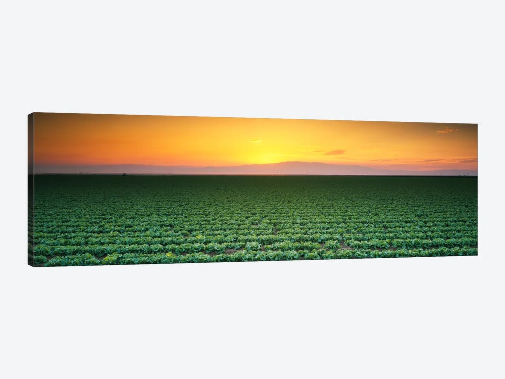 High angle view of a lettuce field at sunset, Fresno, San Joaquin Valley, California, USA by Panoramic Images 1-piece Canvas Art Print