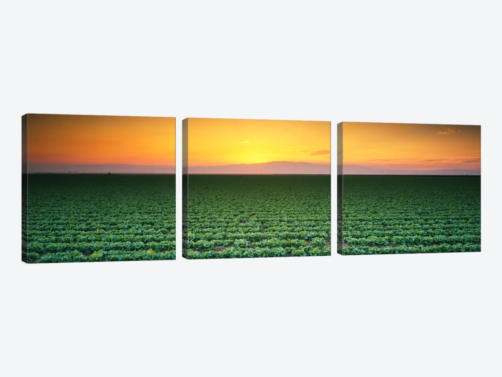 High angle view of a lettuce field at sunset, Fresno, San Joaquin Valley, California, USA by Panoramic Images 3-piece Art Print