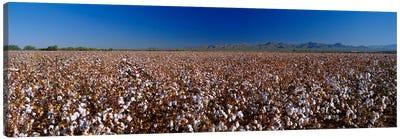 Cotton Field Canvas Print #PIM3273