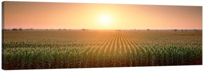 View Of The Corn Field During Sunrise, Sacramento County, California, USA Canvas Art Print