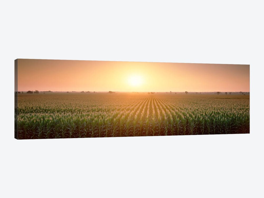 View Of The Corn Field During Sunrise, Sacramento County, California, USA by Panoramic Images 1-piece Canvas Wall Art