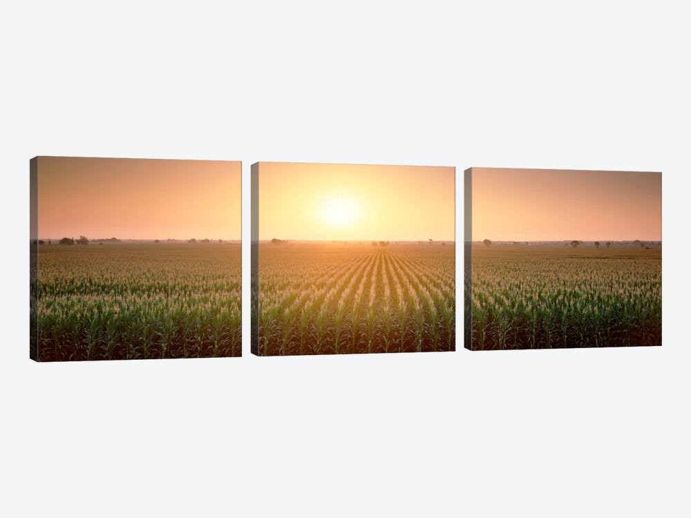 View Of The Corn Field During Sunrise, Sacramento County, California, USA by Panoramic Images 3-piece Canvas Art