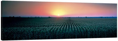 Corn field at sunrise Sacramento Co CA USA Canvas Print #PIM330