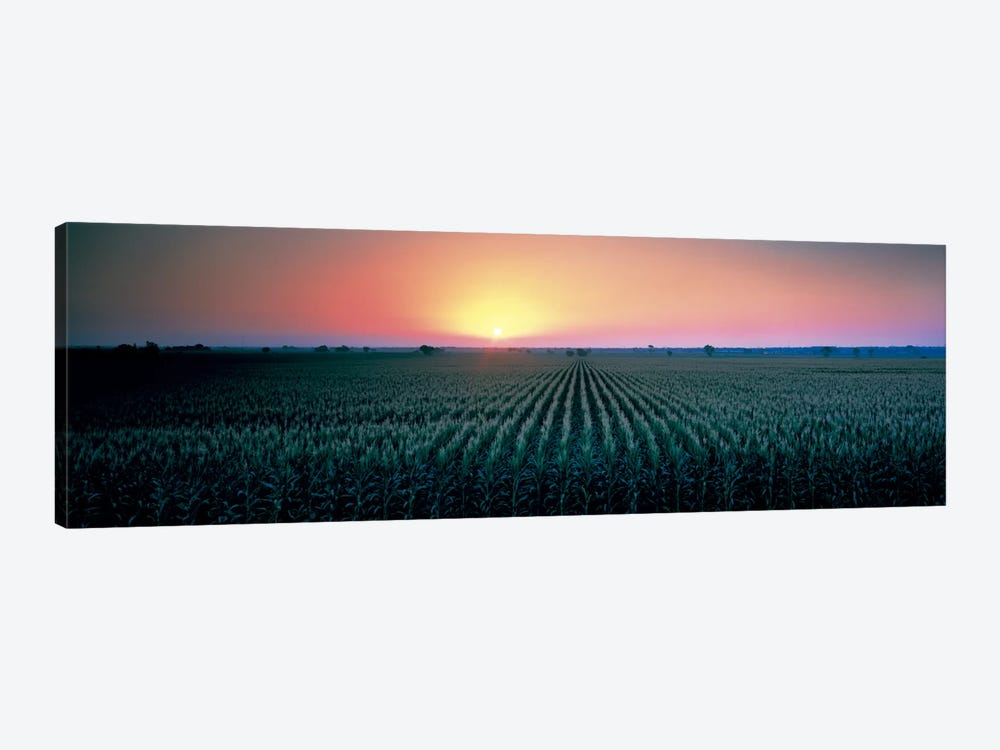 Corn field at sunrise Sacramento Co CA USA by Panoramic Images 1-piece Canvas Print