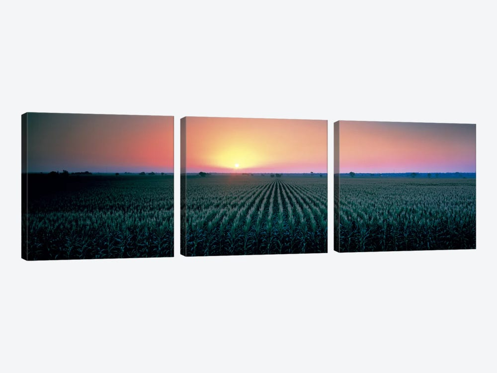 Corn field at sunrise Sacramento Co CA USA by Panoramic Images 3-piece Art Print