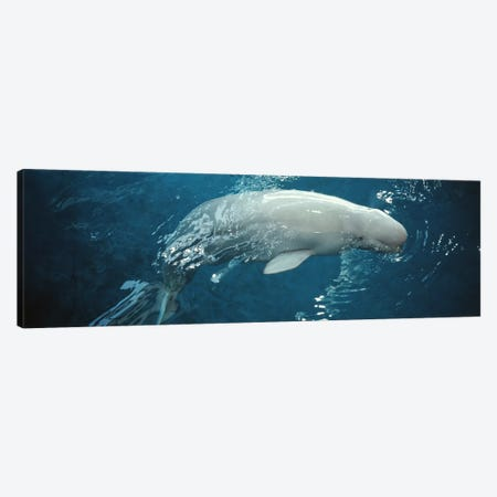 Close-up of a Beluga whale in an aquariumShedd Aquarium, Chicago, Illinois, USA Canvas Print #PIM3374} by Panoramic Images Art Print