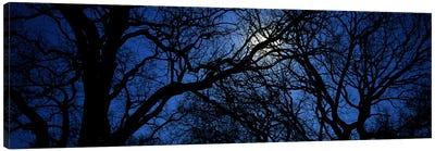 Silhouette of Oak treesTexas, USA Canvas Art Print