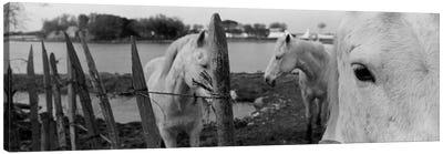 Horses, Camargue, France Canvas Print #PIM3558