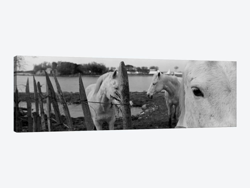 Horses, Camargue, France 1-piece Canvas Art Print