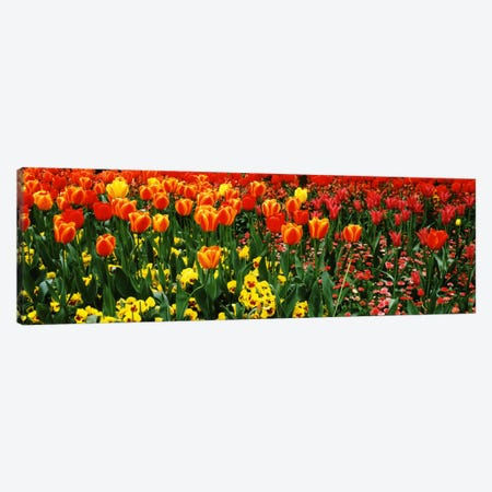 Tulips in a field, St. James's Park, City Of Westminster, London, England Canvas Print #PIM364} by Panoramic Images Canvas Artwork