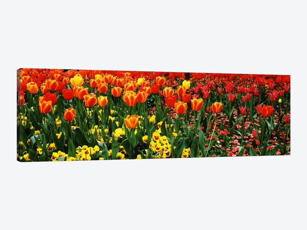 Tulips in a field, St. James's Park, City Of Westminster, London, England by Panoramic Images 1-piece Canvas Wall Art